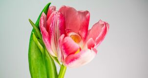 Time-lapse of a light pink double peony tulip flower blooming on white background
