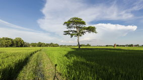 Time lapse motion Single Tree with clouds over the rice field in countryside.4k or Full HD stock video footage