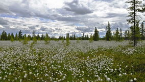 Time Lapse moving clouds and cotton grass on a Siberian swamps. Time Lapse of moving clouds and cotton grass on a Siberian swamps stock video