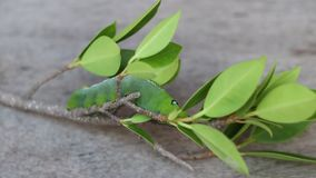 Time lapse Oleander hawkmoth caterpillar Daphnis nerii, Sphingidae creeping on the branch of tree. stock video footage