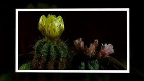Time lapse of opening and closing cactus flowers. stock video footage