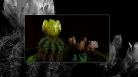 Time lapse of opening and closing cactus flowers. stock footage