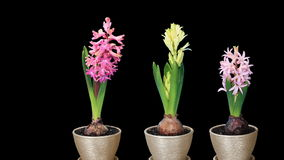 Time-lapse opening hyacinth flower buds ALPHA matte, stock video