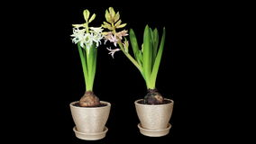 Time-lapse opening hyacinth flower buds ALPHA matte