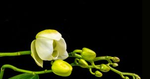 Time-lapse of opening orchid 4K on black background stock footage