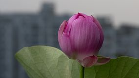 Time lapse opening of a pink lotus flower, from night to morning, 4k footage, timelapse stock footage