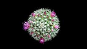 Time-lapse Opening pink Mammillaria stock video