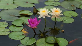Time lapse opening of water lily flower in pond stock video footage