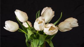 Time-lapse of opening white tulips bouquet. 4k 50 fps time lapse. Time-lapse of opening white tulips bouquet with drops. 4k 50 fps time lapse. Studio shot over stock video