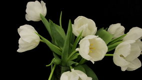 Time Lapse Opening Wite Tulips. White Tulips Opening Time Lapse stock video