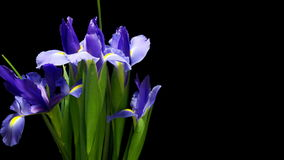 Time lapse púrpura de Iris Flower almacen de metraje de vídeo