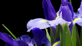 Time lapse púrpura de Iris Flower almacen de video