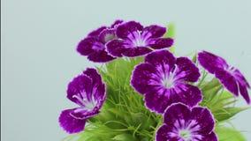 TIME LAPSE PÚRPURA del FLOR de la ABERTURA de la flor del clavel, primavera de la germinación almacen de metraje de vídeo