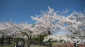Time lapse panorama Cherry blossoms or Sakura in full bloom at Takarano park. Tokyo, Japan-March 30, 2018: Time lapsep anorama Cherry blossoms or Sakura in full stock video footage