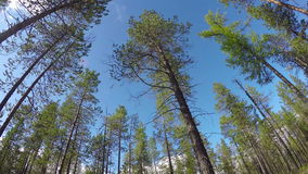Time-lapse photography of sky through pine trees. Time-lapse photography of the sky through pine trees stock video