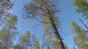 Time-lapse photography of sky through pine trees. Time-lapse photography of the sky through pine trees stock video footage