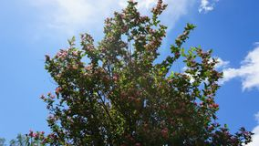 Time-lapse of purple honeysuckle with clouds in the sky stock footage