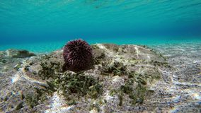 Time Lapse Of Sea Urchin Unterwater. Time Lapse Of Sea Urchin Walking On Sandy Seafloor. People And Various Fish Swimming In The Distance. Sunlight Reflections stock video