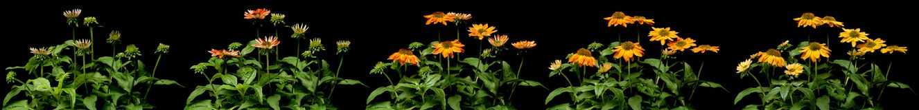 Cone Flower Time-lapse Series. Time lapse series of orange Cone Flower Echinacea sp. flowers blooming. Studio shot over black Royalty Free Stock Photos