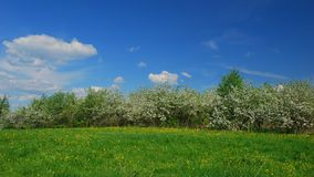 Blossoming apple fruit trees in orchard in springtime. Time lapse shot of blossoming apple fruit trees in orchard in springtime stock video