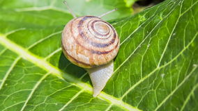 Time lapse: Snail Moving On a Green Leaf Royalty Free Stock Image