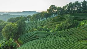 Time lapse of 101 tea plantation at Doi Mae Salong it is a popular tourist destination of Chiang Rai Thailand. It is a hillside plantation with beautiful stock video footage