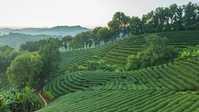 Time lapse of 101 tea plantation at Doi Mae Salong it is a popular tourist destination of Chiang Rai Thailand. It is a hillside plantation with beautiful stock footage