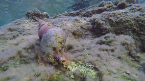 Time Lapse Triton Snail Underwater. Time Lapse Of Triton Snail Moving On Rocky Seabed. Sunlight Reflections, Underwater. Aegean Sea, Kythira, Greece stock video footage