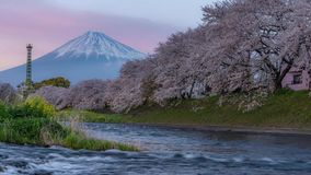 Mt Fuji and cherry blossoms time lapse stock video