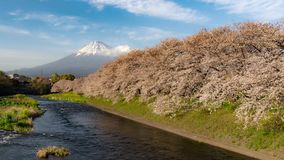 Mt Fuji and cherry blossoms time lapse stock video footage