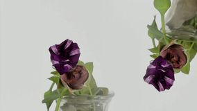 Time lapse van het kweken van de bloem van de bluiris stock footage