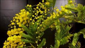 Time lapse van het kweken van gele mimosabloemen stock video
