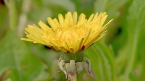 Timelapse - Dandelion flowering. Time lapse video from dandelion to flower opening from bud stock footage