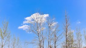 Time lapse Video of white clouds floating in blue sky quickly.. Under the white clouds and blue sky, small new buds appear on tree branches.Wind is blowing stock video