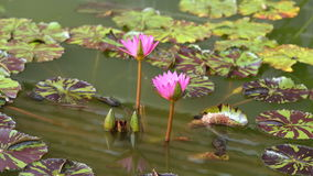 Time lapse of water lily flower in pond stock footage