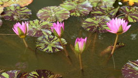 Time lapse of water lily flower in pond stock video footage