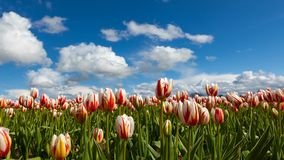 Time lapse of white clouds and blue sky over tulip fieldl in Woodburn OR 4k uhd. Time lapse movie of moving white clouds and blue sky over colorful tulip field stock video