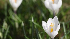 Time lapse of white crocus opening its blossom stock footage