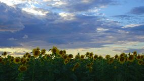 Time lapse: white gray clouds float above the field of sunflowers. A strong wind shakes the sunflowers. The evening sun beautiful stock video footage