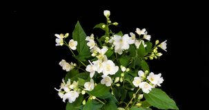 Time lapse of white Jasmine flowers blooming on black background stock video
