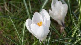 Time lapse  of White Saffron stock footage