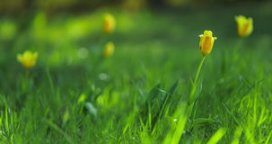 Time lapse of yellow tulips blooming in meadow stock video footage