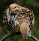 A Time for a Mourning Dove to Preen. During a Backyard Birds photo shoot, this mourning dove took a moment out to preen, spreading her feathers out almost like Royalty Free Stock Image