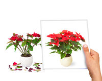 Time  passing concept Poinsettia flower perfect vs faded Stock Photography