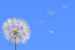 Time passing. Dandelion with seeds blowing away in the wind across a clear blue sky Stock Image
