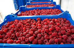 Time of raspberries Stock Images