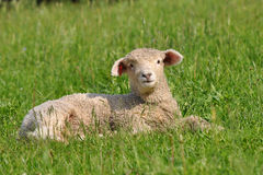 Time for relaxation. Cute young lamb in spring nature Royalty Free Stock Photos