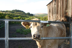 Time to eat!. Cow looking out gate with ear tags royalty free stock photos