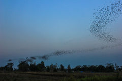 Time to flying. Bats colony flying over the farm Royalty Free Stock Image