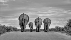 Time To Go Home. A family of Elephants wanders down a road at the end of the day Royalty Free Stock Photography